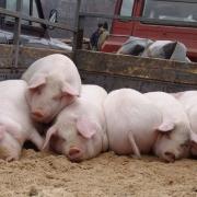 Targul de porci